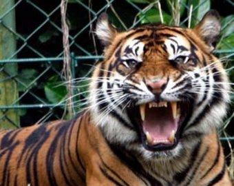 Мужчина снял «нападение» тигра на своего ребёнка