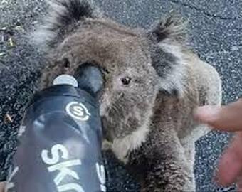 Интернет-пользователей расстрогало видео с попросившей воды у людей коалой