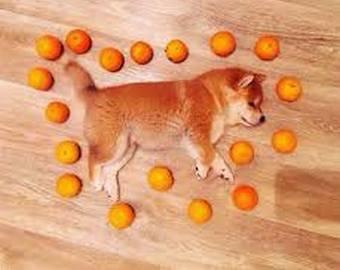 Пес насмешил интернет-пользователей любовью к мандаринам