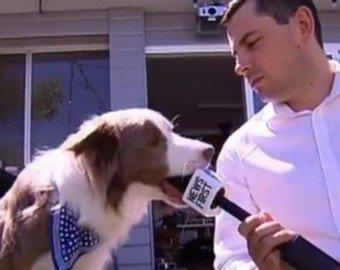 Собака испортила интервью, сожрав микрофон