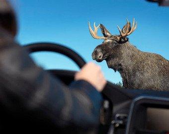 Нападение лося на автомобиль набирает популярность в Сети