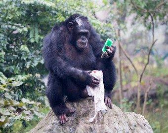 Шимпанзе постирал одежду смотрительнице зоопарка