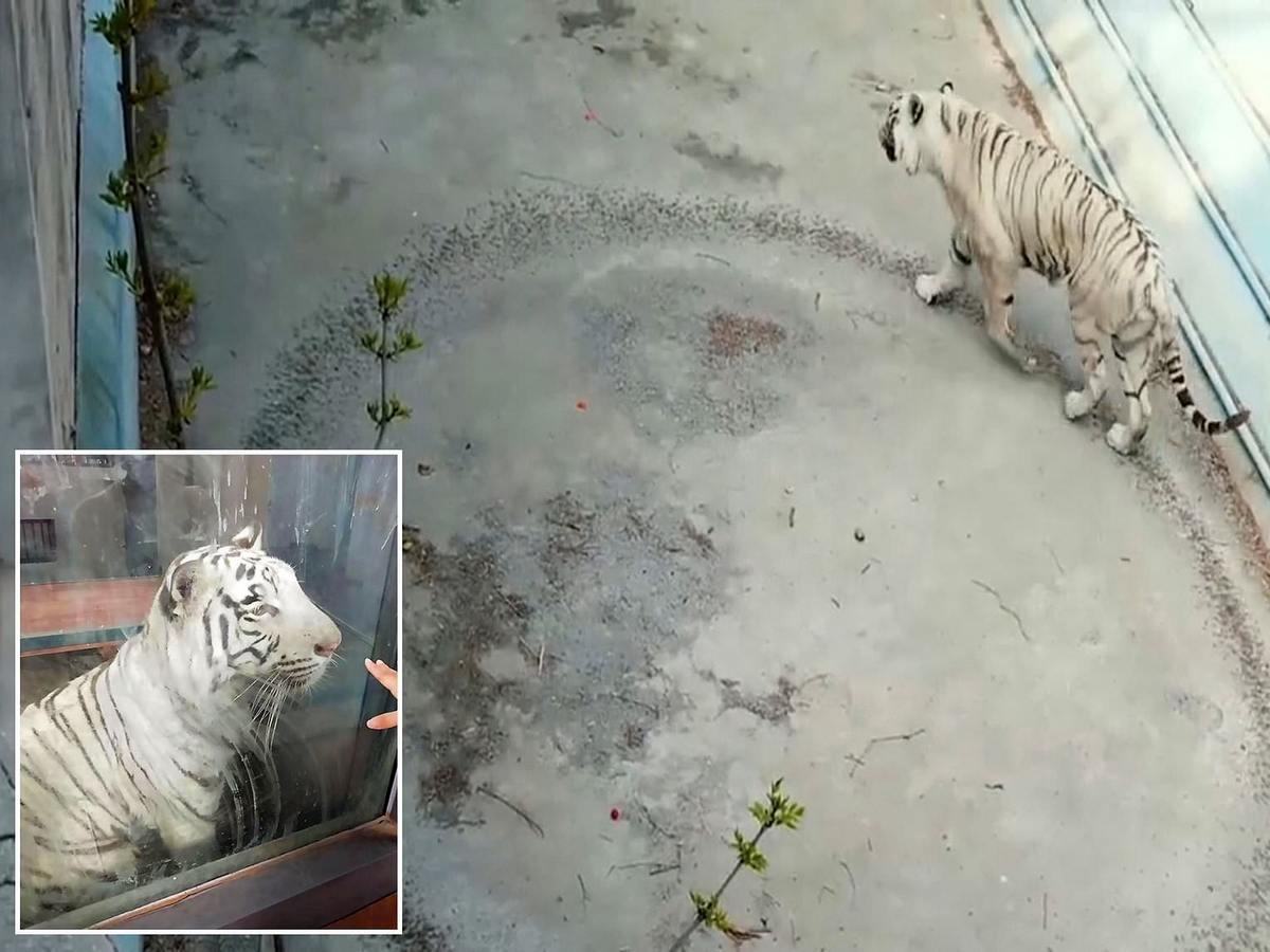 Видео «депрессивного» тигра из китайского зоопарка стало вирусным