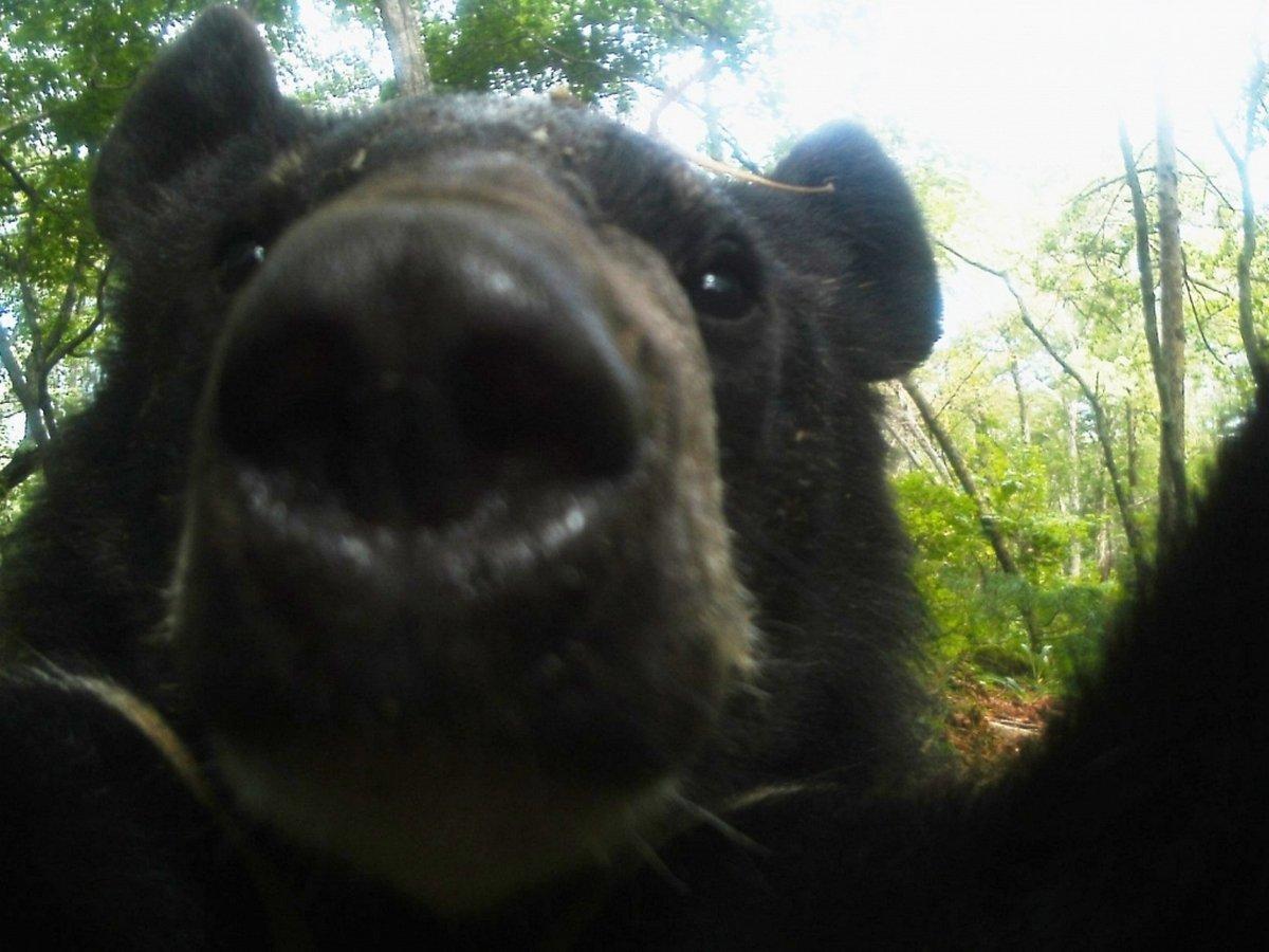 """Медведи """"станцевали"""" на камеру и попытались стереть запись"""