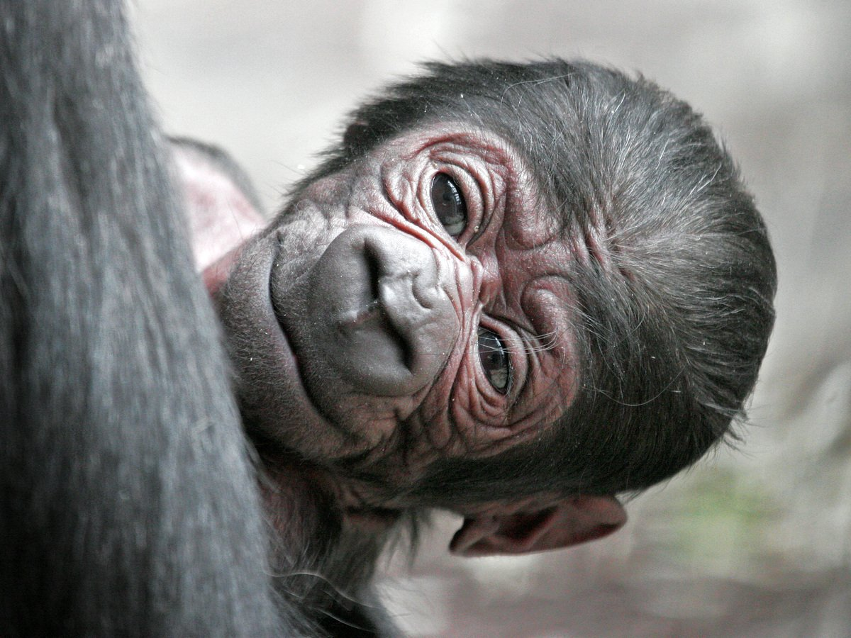 Детеныш гориллы устроил покатушки со спины отца и стал интернет-звездой