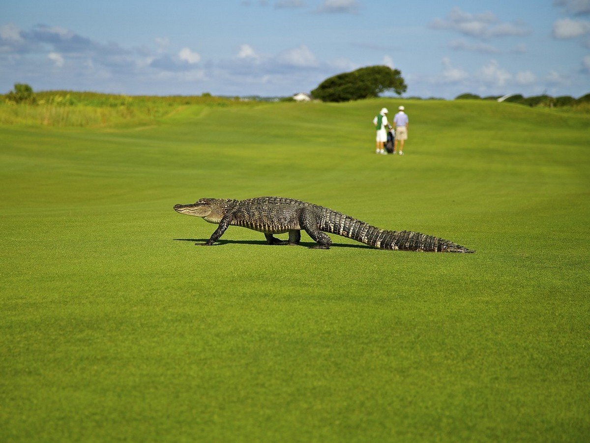 Аллигатор на поле для гольфа
