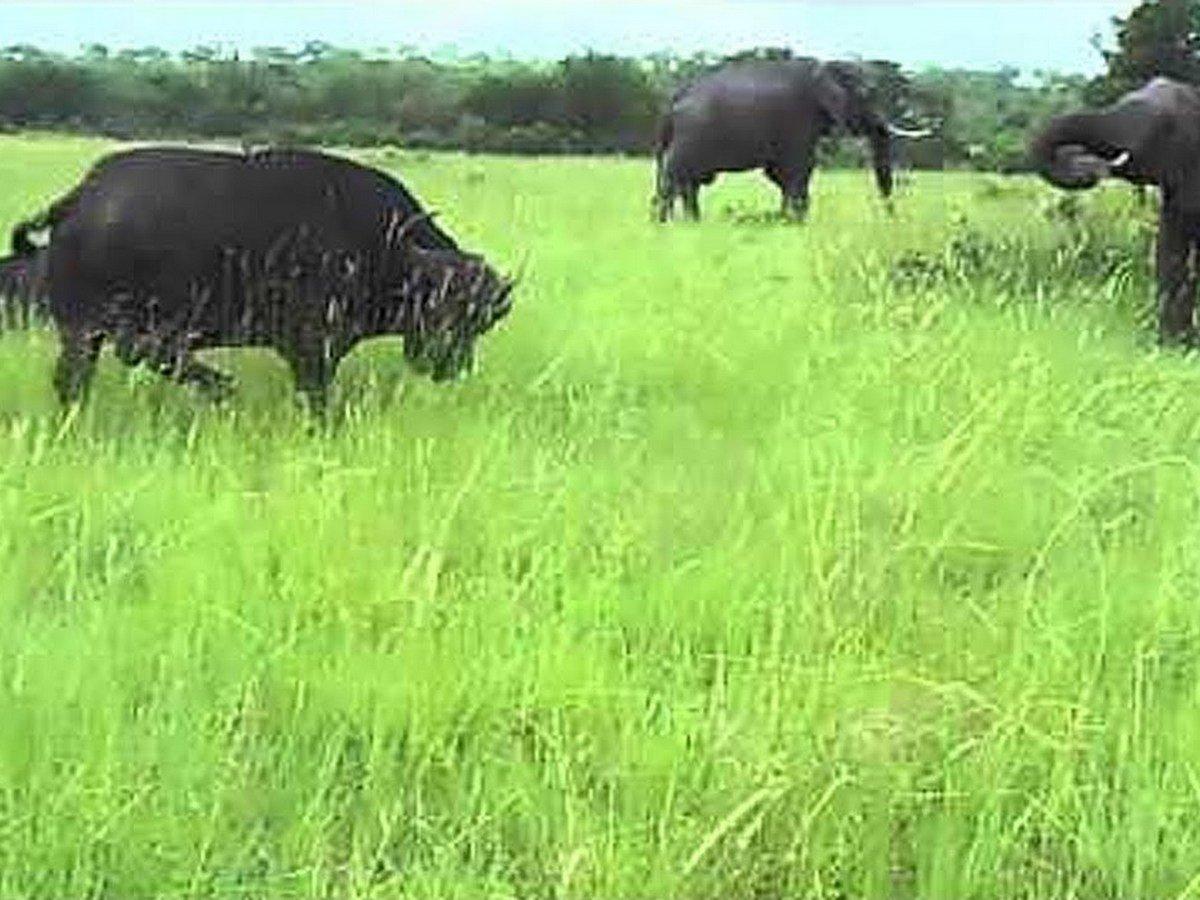 Слон внезапно атаковал буйвола и попал на видео
