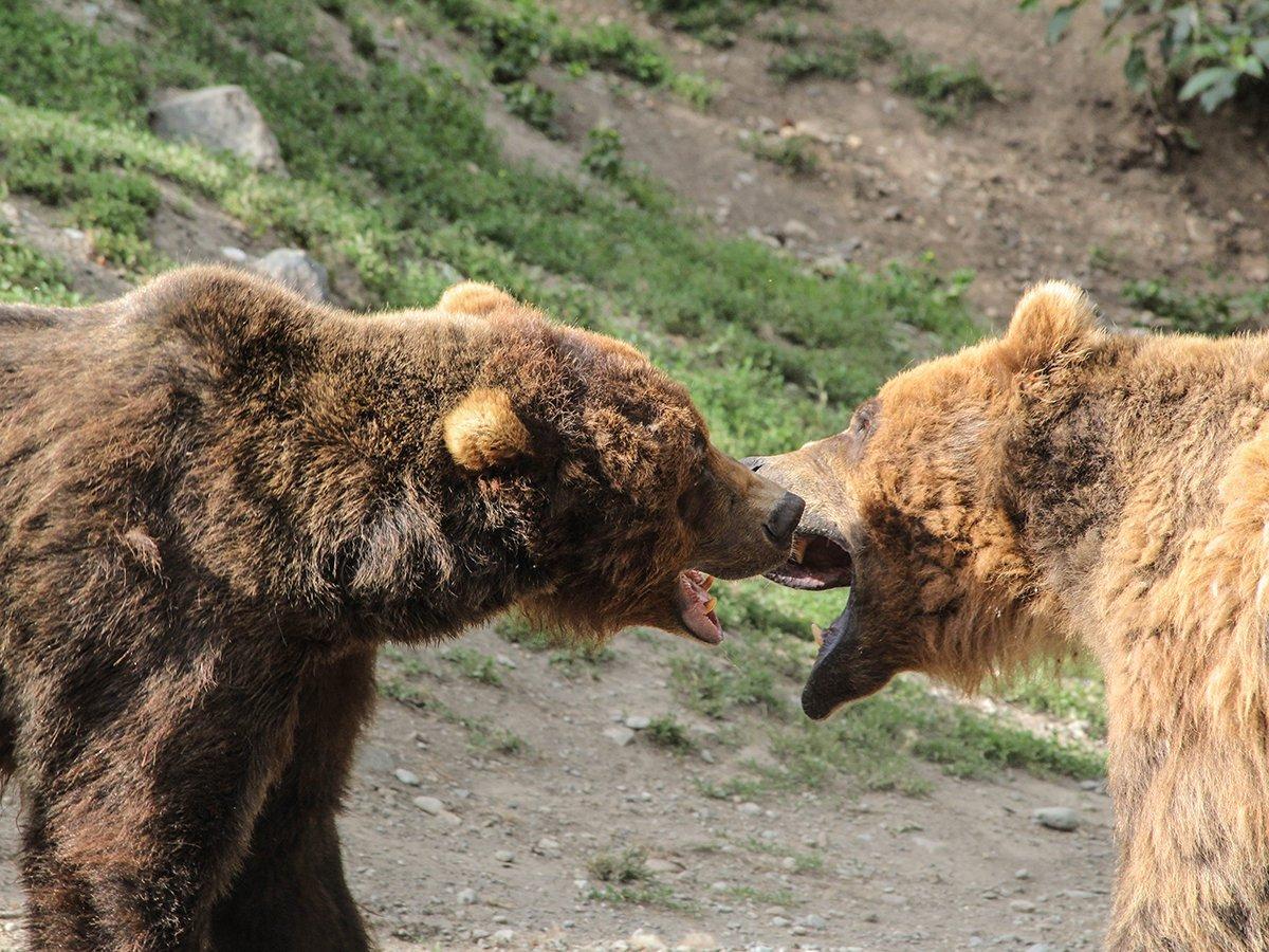 На границе России и Китая подрались два медведя