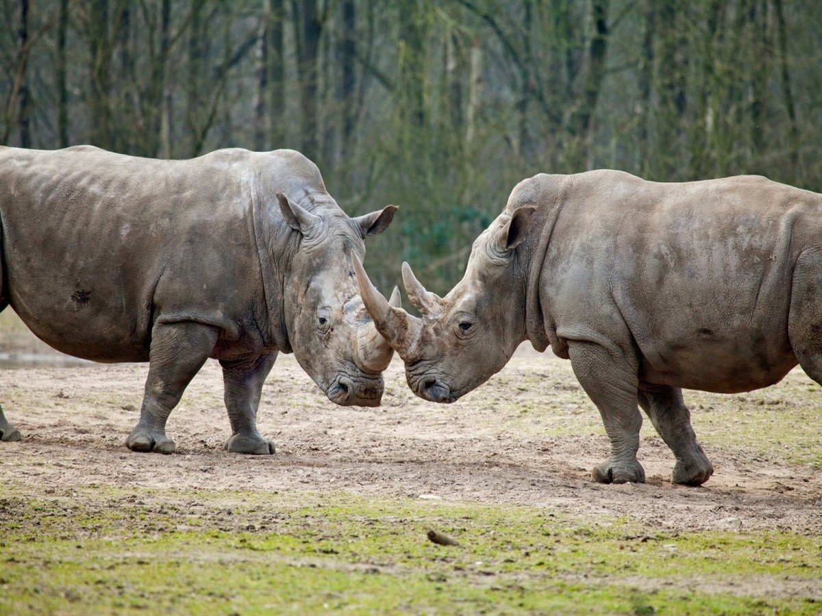Драка носорогов