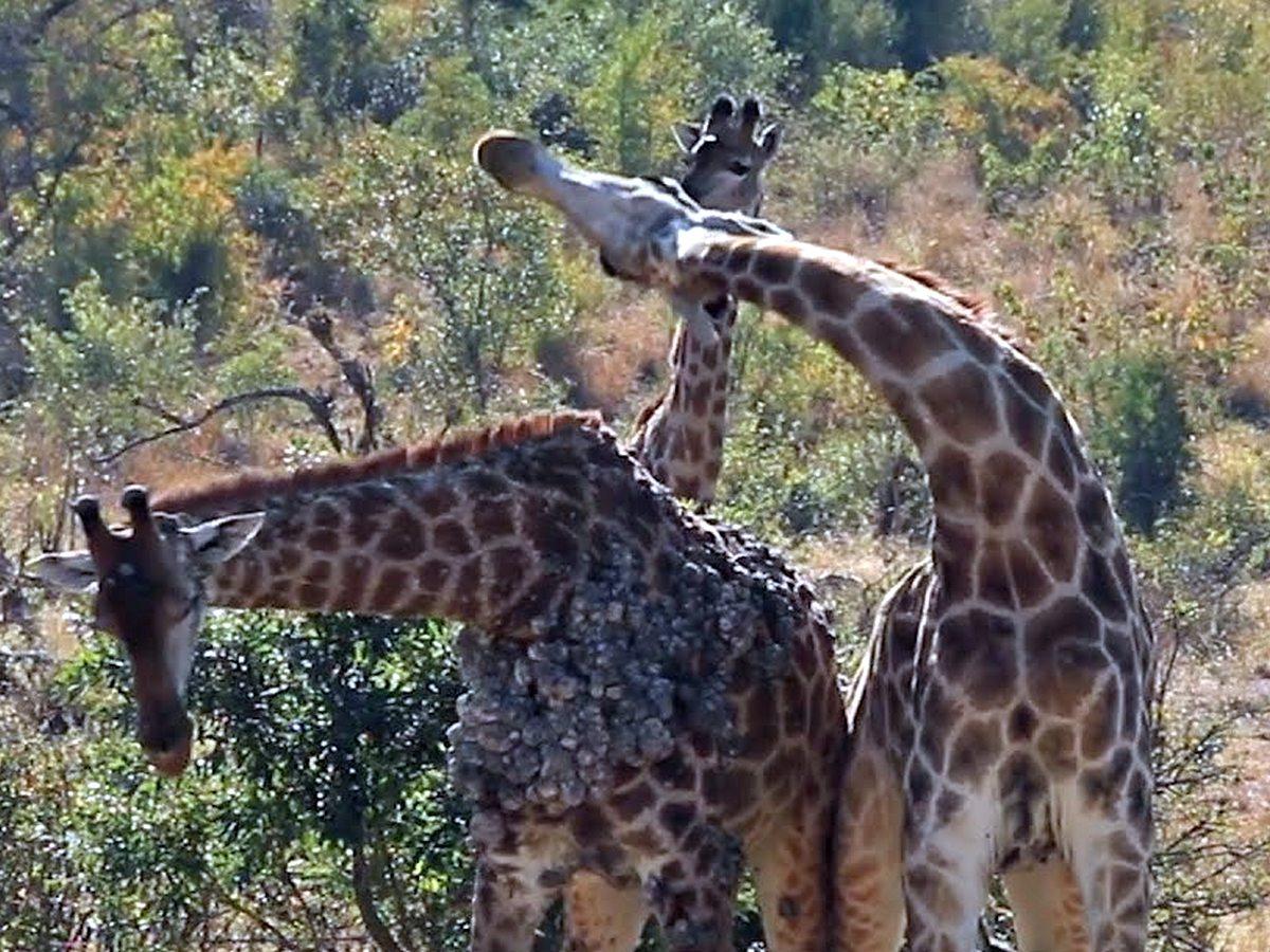 Потасовка двух жирафов в парке Крюгера