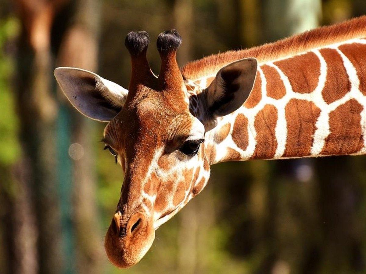 Жираф устроил погоню за джипом с туристами