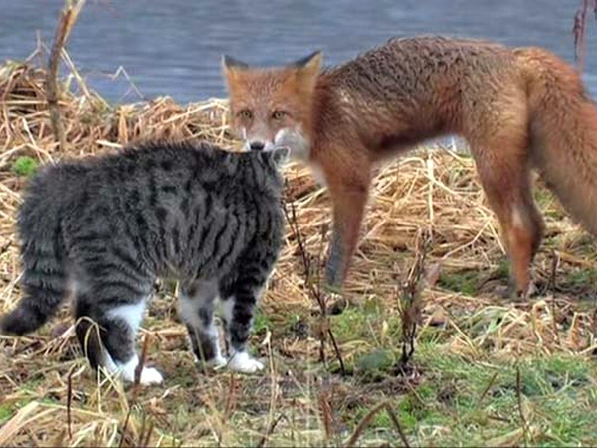 Конфликт лисы и дикого кота попал на видео