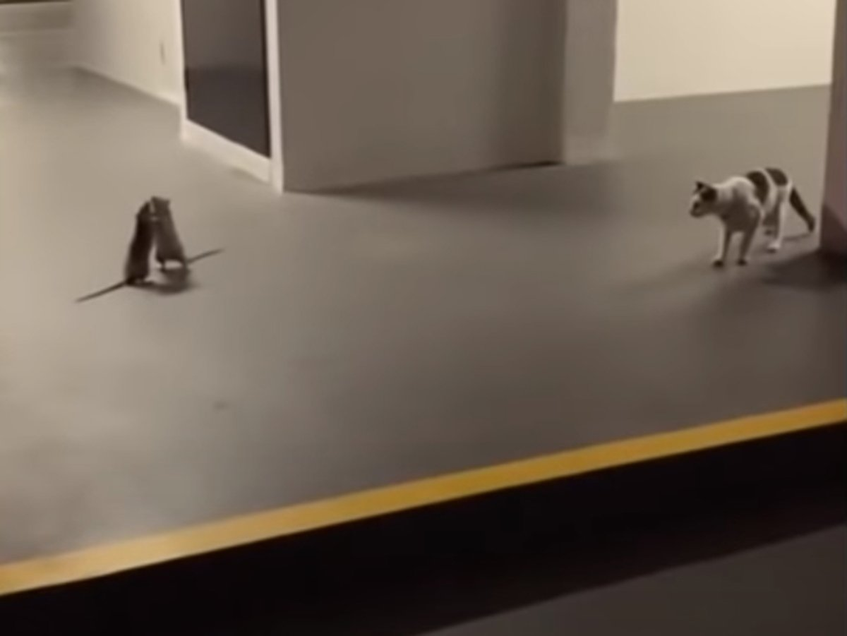 Драка двух крыс на глазах у кота