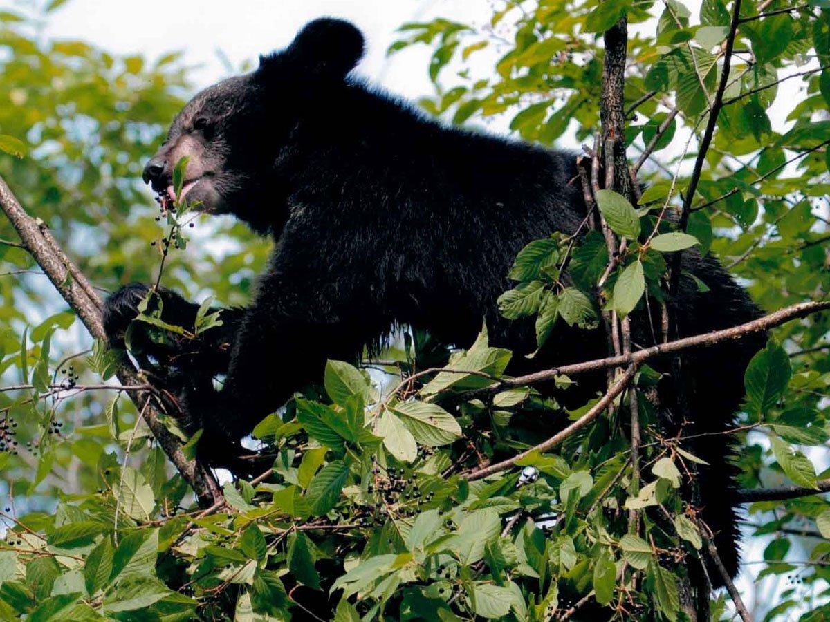 В Приморье гималайский медведь украл мед из улья