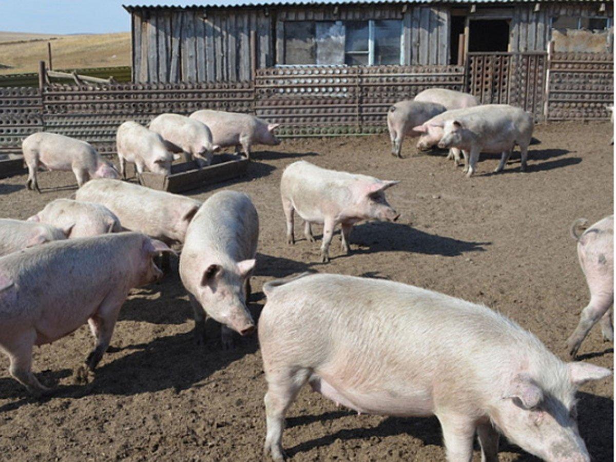 В России снова зафиксирована вспышка свиной чумы