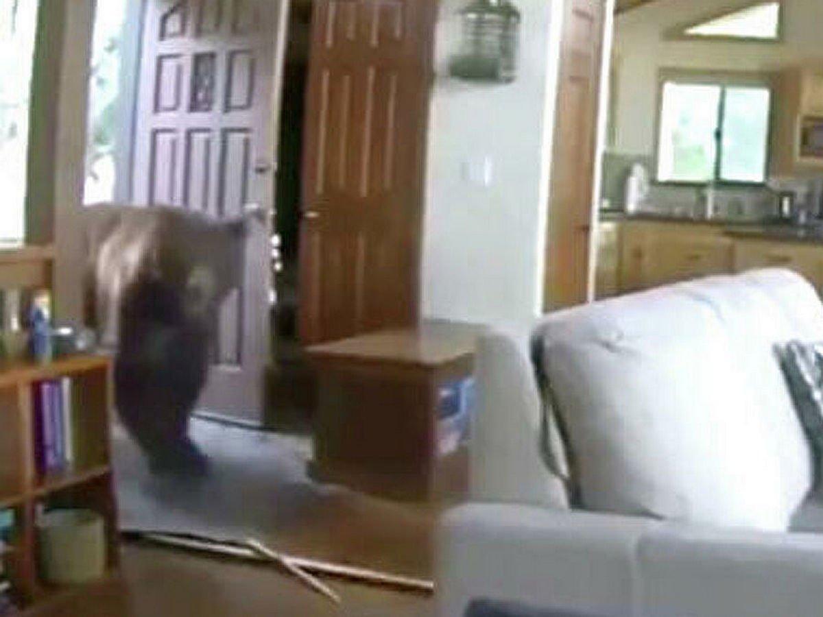 Гризли залез в дом