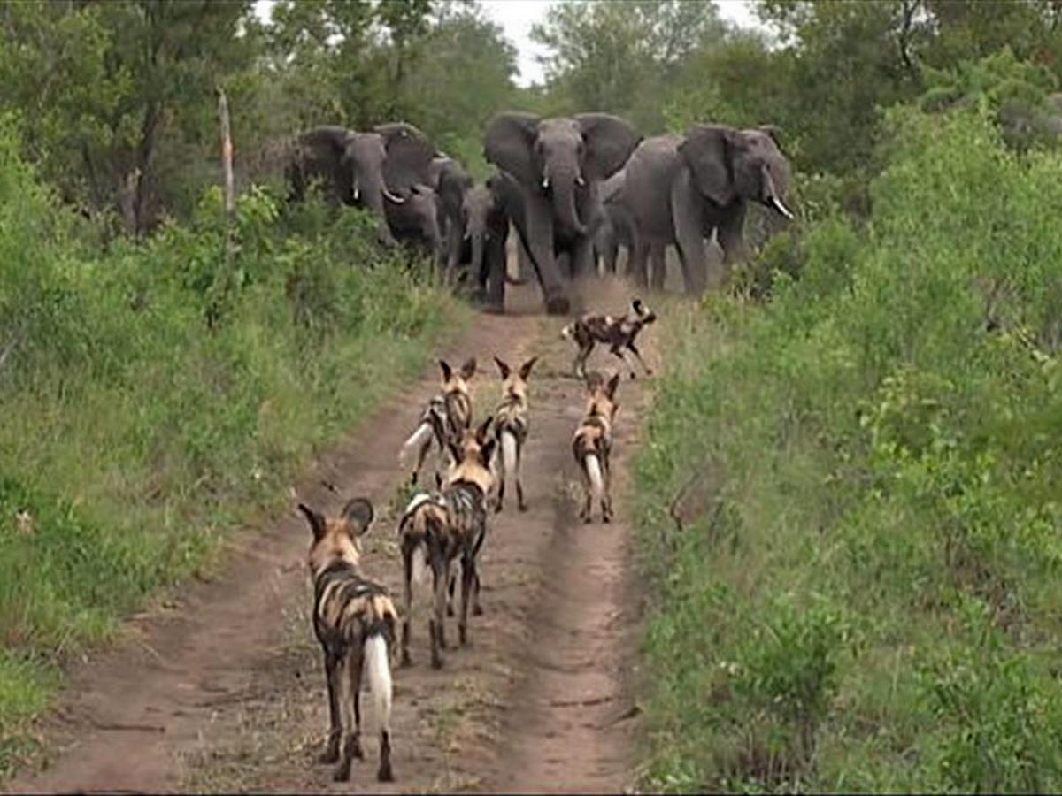 Слоны и гиены