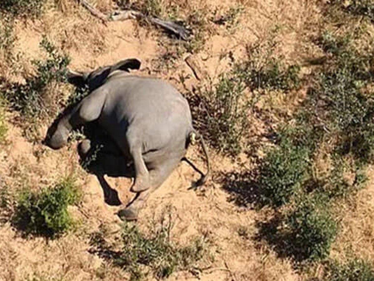 В Ботсване загадочно погибли более 350 слонов