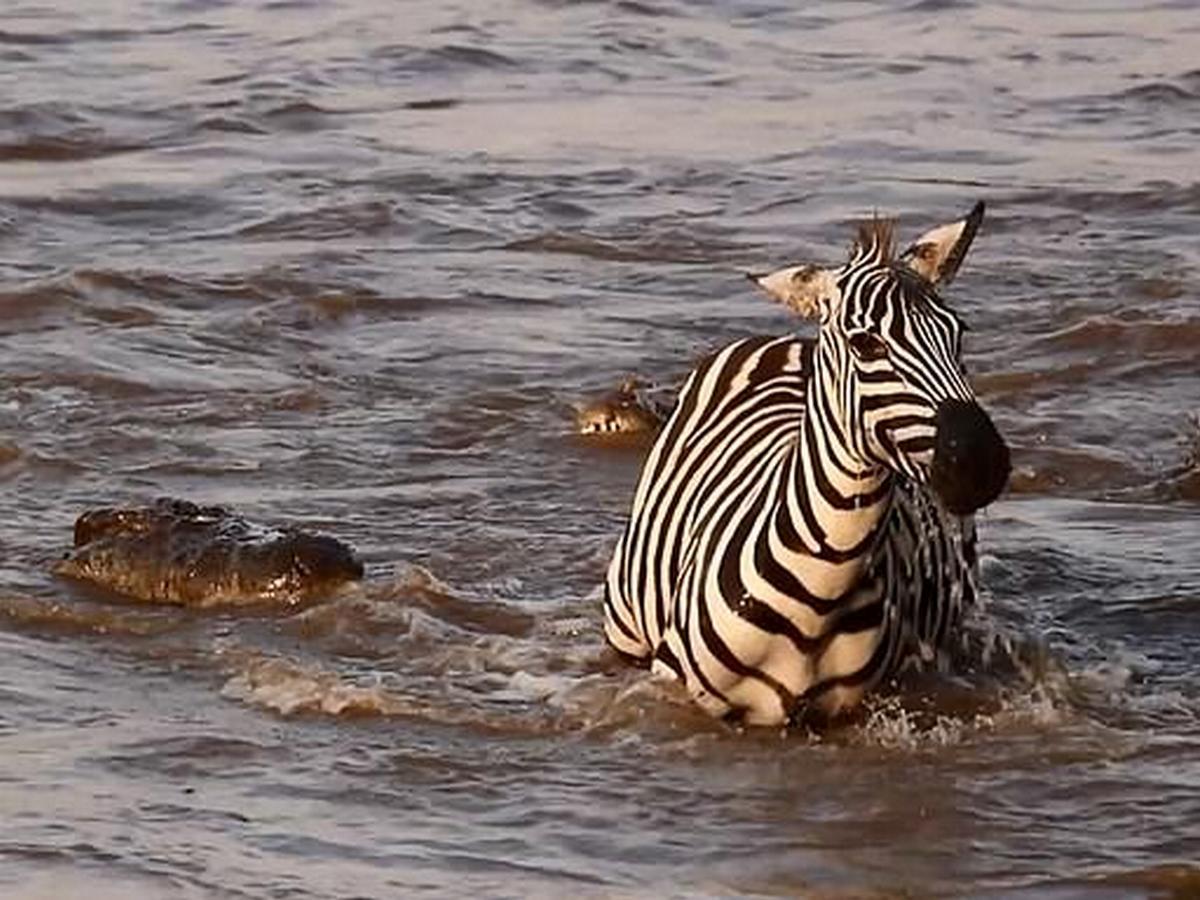 Зебра и крокодил