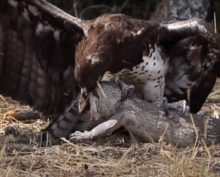 Битва орла с вараном