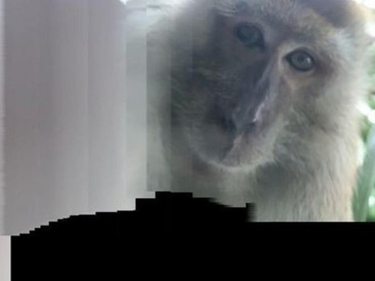 Малайзиец нашел в утерянном телефоне селфи обезьяны