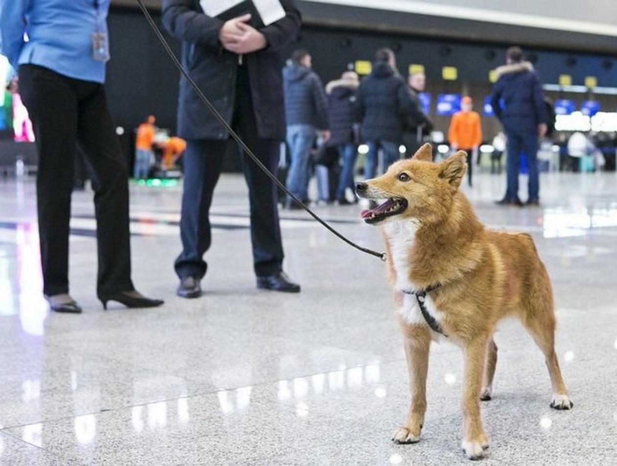 «Аэрофлот» тренирует собак искать в толпе пассажиров с COVID-19