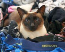 Кошка Бриджит оставила соседей без трусов и носков