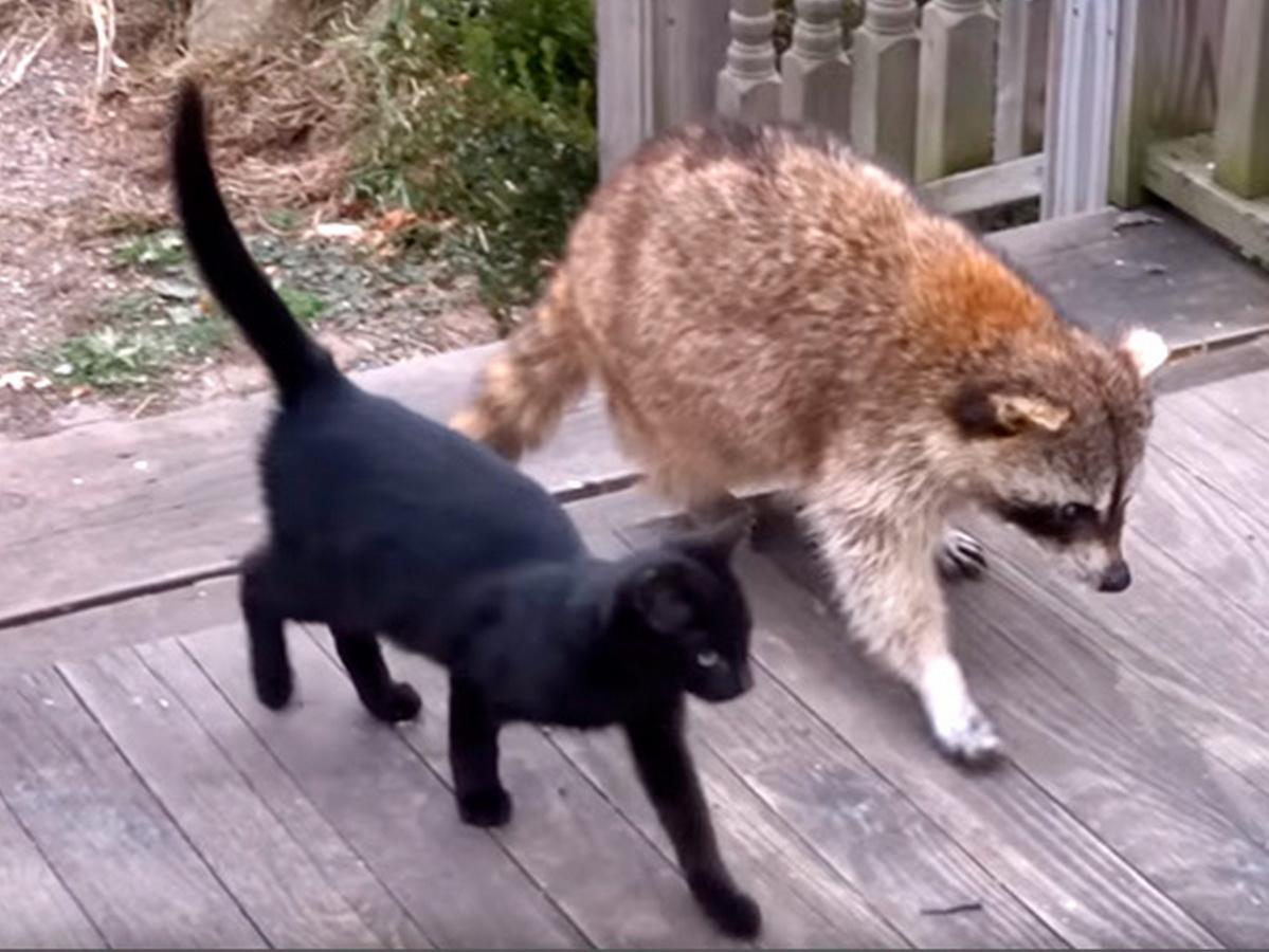 Енот и кот