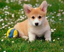 Корги с мячиком