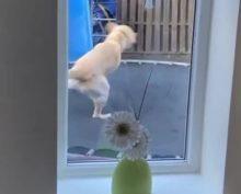 Пёс, прыгающий на батуте