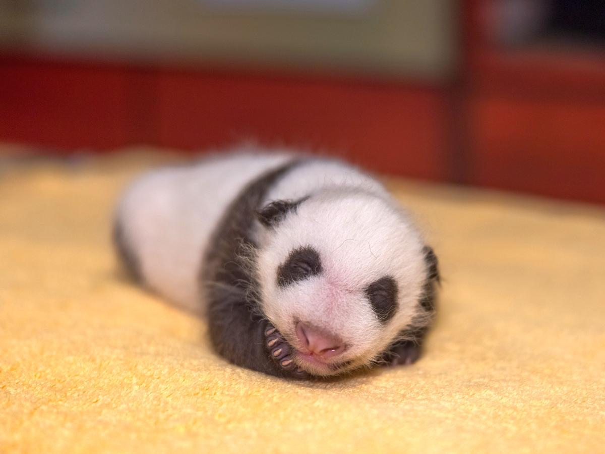 Видео с новорожденной пандой собрало более 58 тысяч просмотров