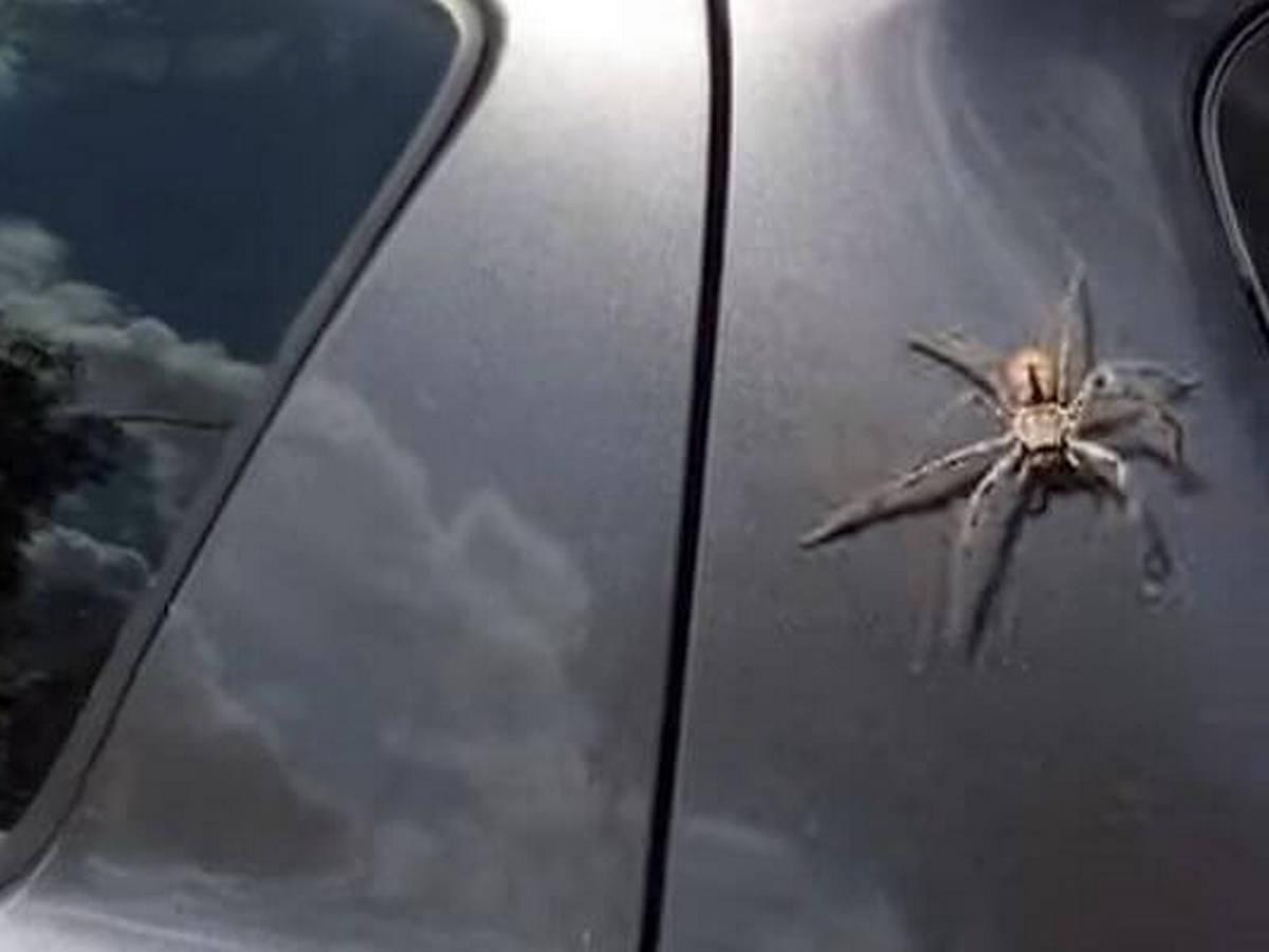 Паук на автомобиле