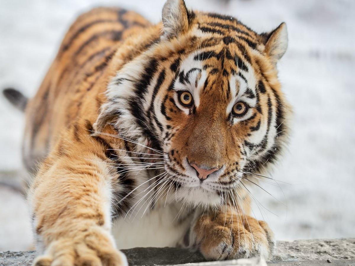 Снимок с амурским тигром, сделанный россиянином, назвали лучшей фотографией дикой природы