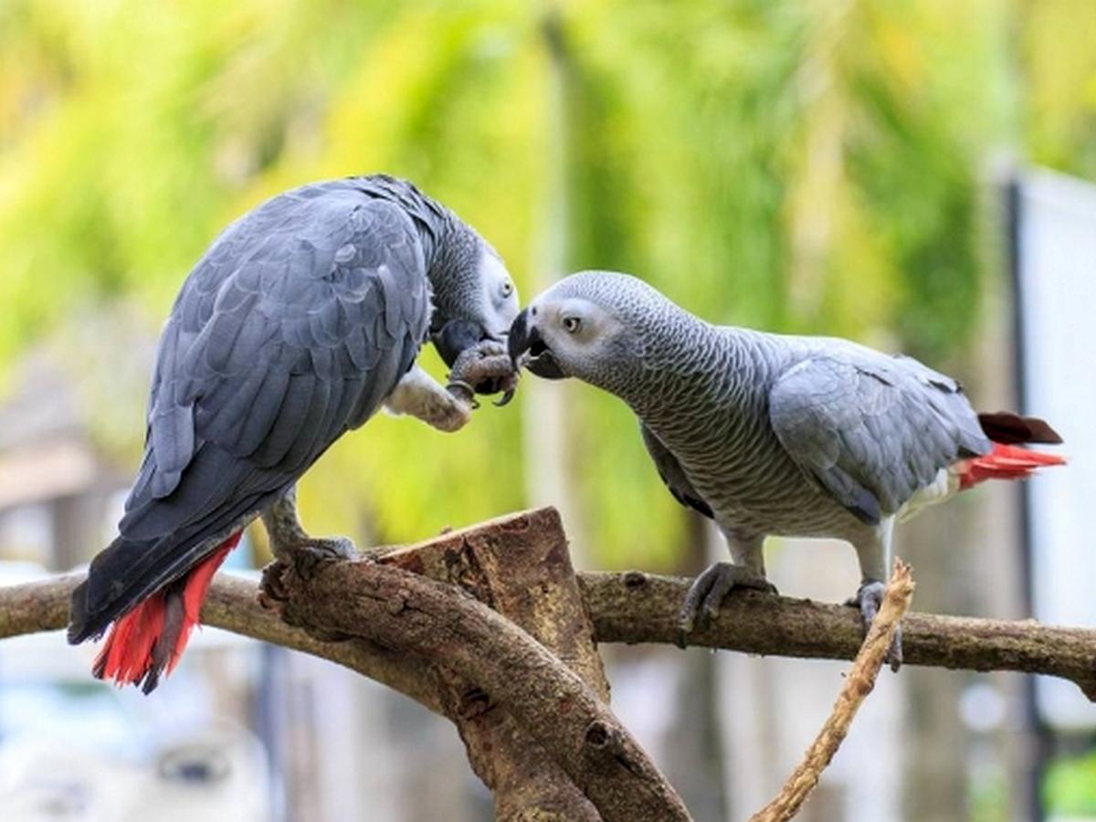 Британский зоопарк изолировал попугаев-матерщинников от посетителей