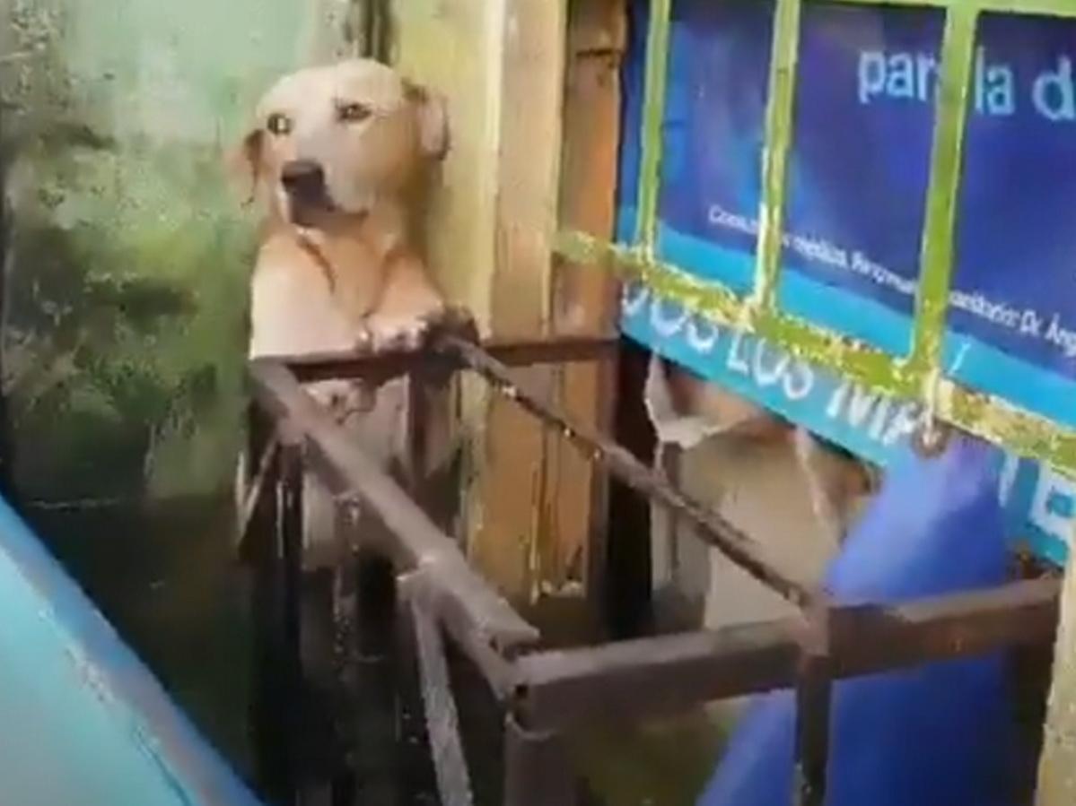 Лабрадор спасался во время наводнения