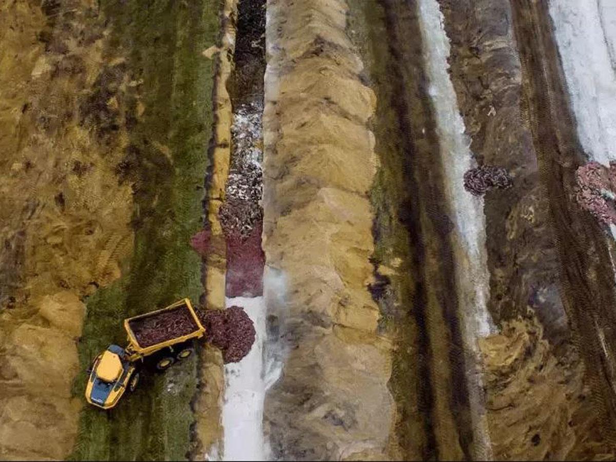 Убитые в Дании норки «восстали из-под земли»