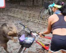 Нападение дикого кабана на велосипедистку сняли на видео в Сингапуре