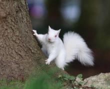 Белку-альбиноса сфотографировали в Шотландии