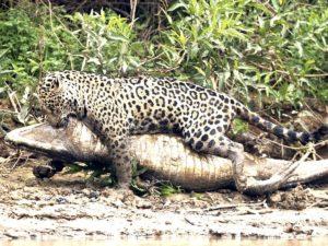 36-килограммовый кайман стал добычей ягуара