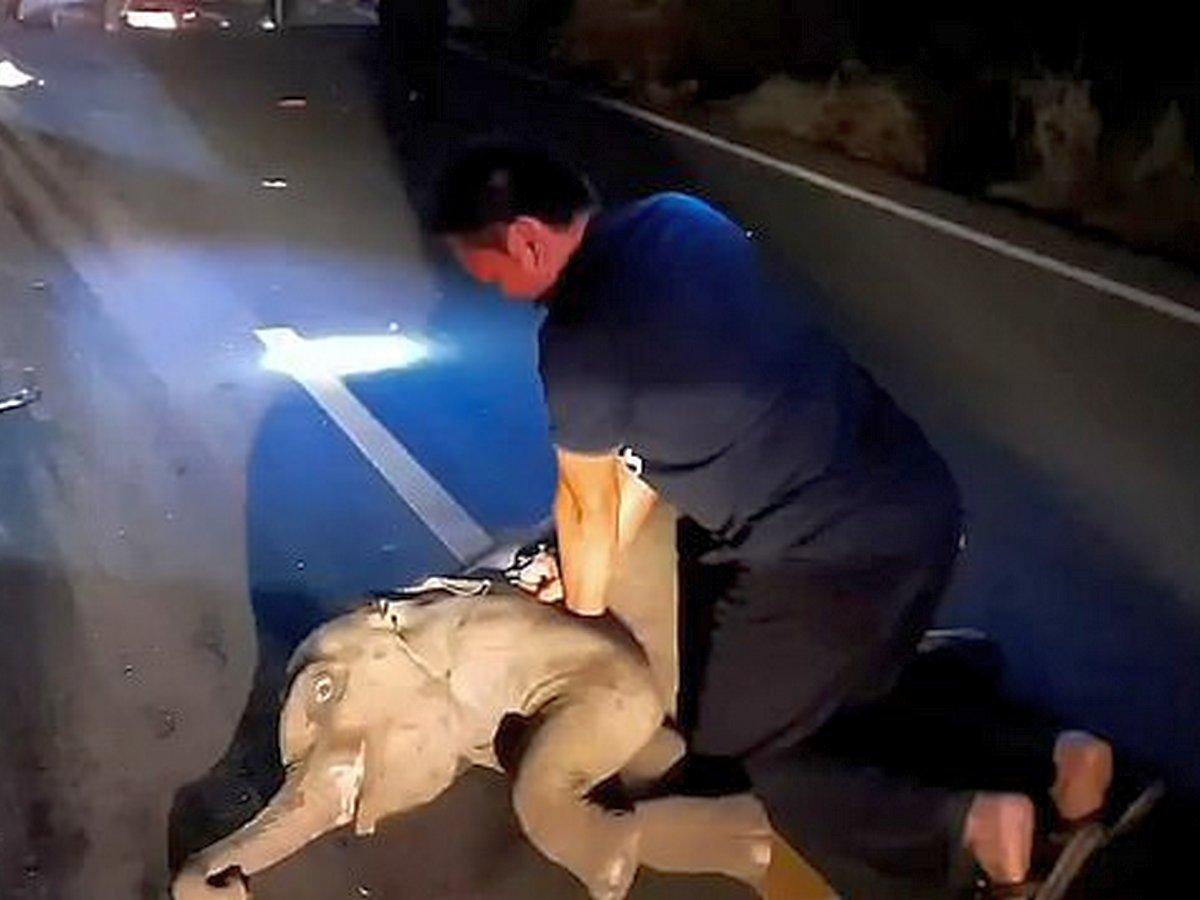 Спасатель вернул к жизни слоненка, попавшего в ДТП