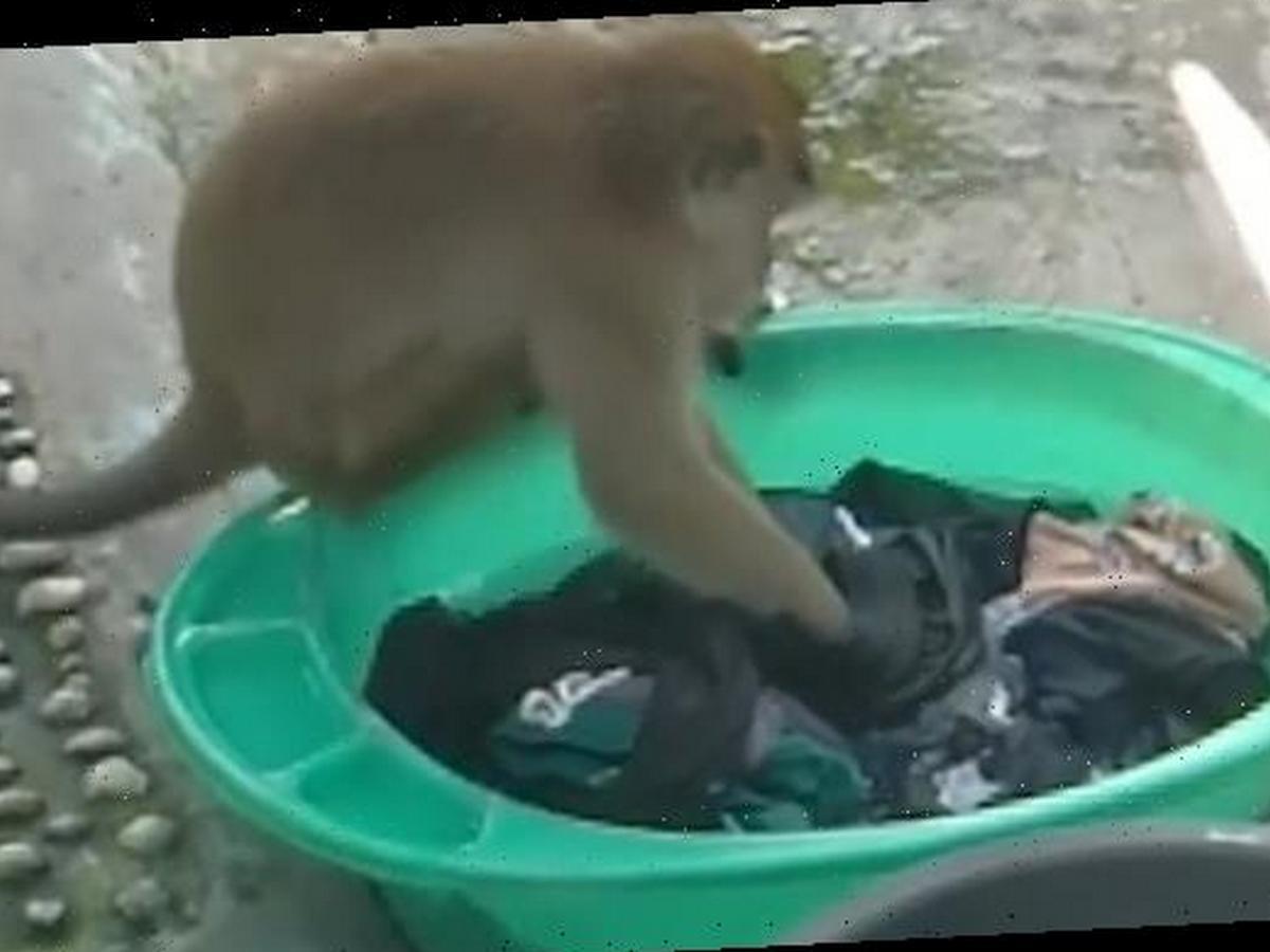 Дикая обезьяна собрала 25 тысяч просмотров, устроив большую стирку