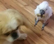 В Сети набирает популярность попугай, облаявший собаку