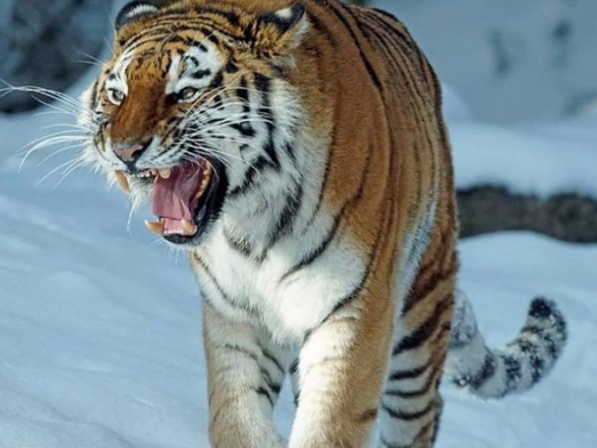 Тигр загнал людей в кафе