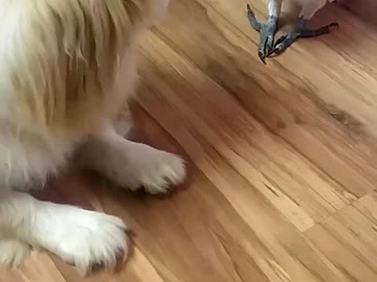 Попугай подружился с собакой и научился лаять не хуже неё