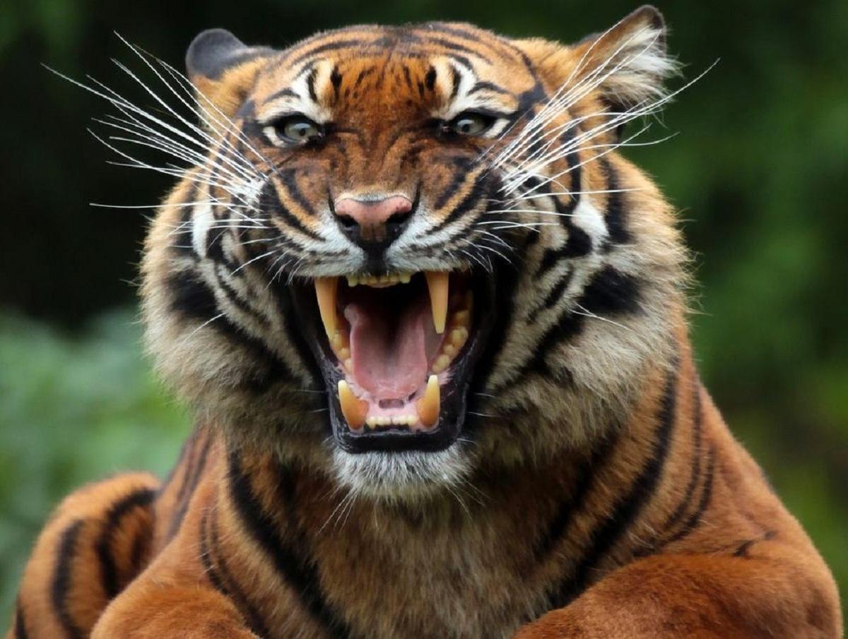Тигр в Хабаровском крае отгрыз голову молодому охотнику