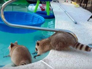 Енот-пловец и енот-болельщик собрали более 3 млн просмотров на YouTube