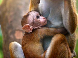 В Сети набирает популярность видео с идеальной мамой-обезьянкой