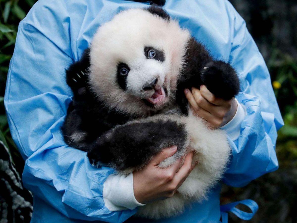Детеныш панды из Южной Кореи стал интернет-звездой