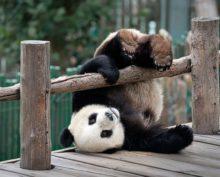 Трейлер самого милого документального фильма о пандах
