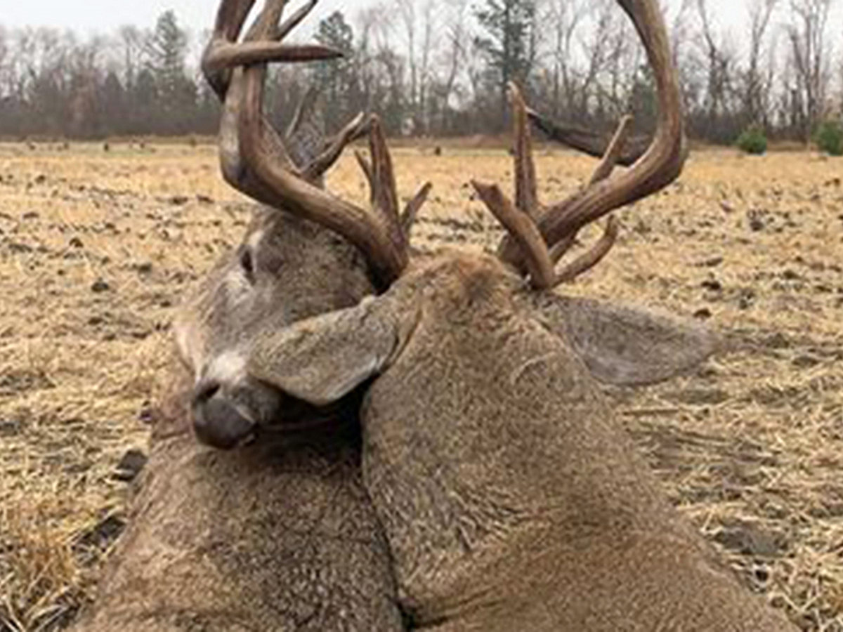 Охотник нашел способ спасти оленей, намертво сцепившихся рогами